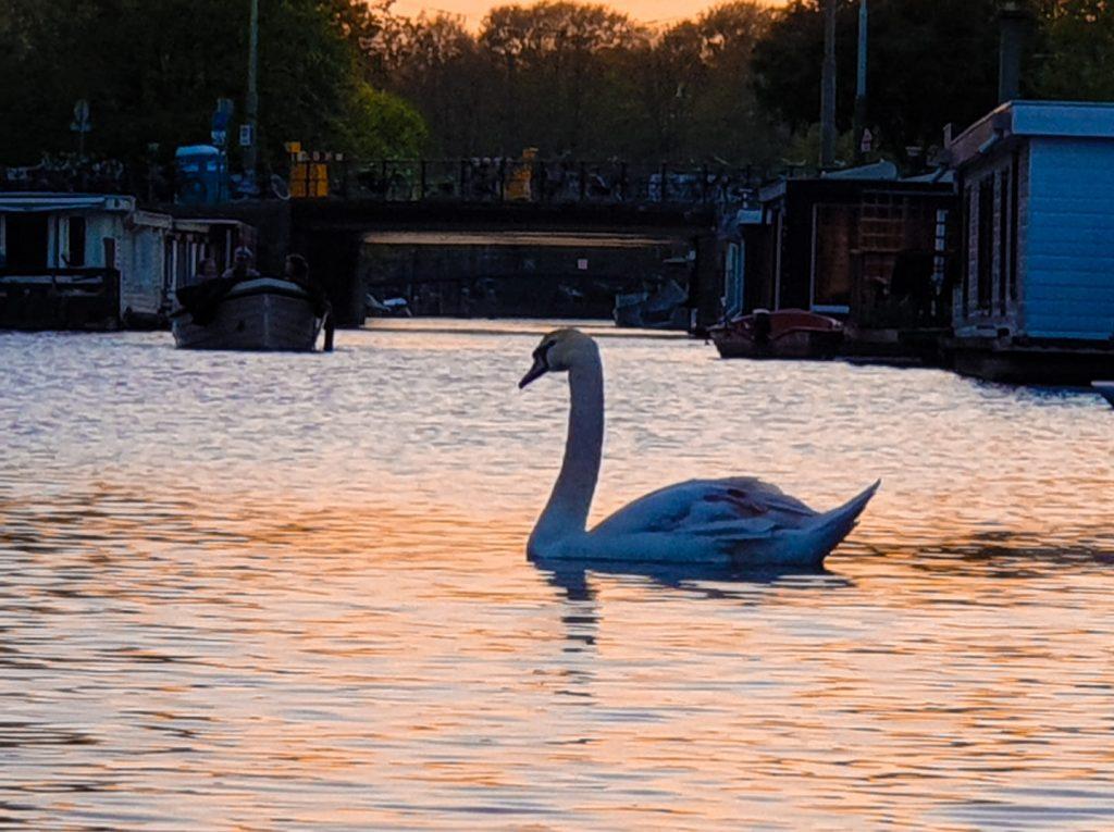 Amsterdam swan